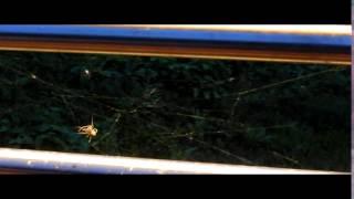 Pajki pletejo mrežo