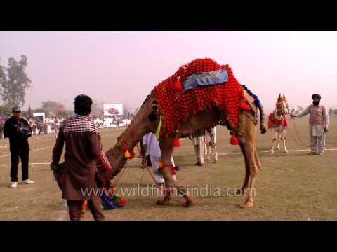 Decorated camel dancing at Kila Raipur rural olympic