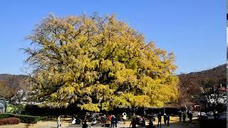장수동 은행나무