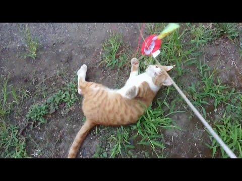 猫じゃらしで遊ぶラムネと、まお(音楽付) Cats jumping