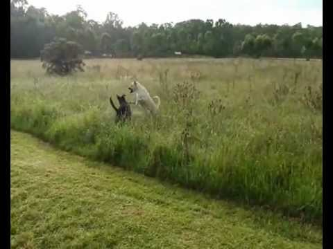 Rottweiler and Anatolian Shepherd Playing In The Long Grass