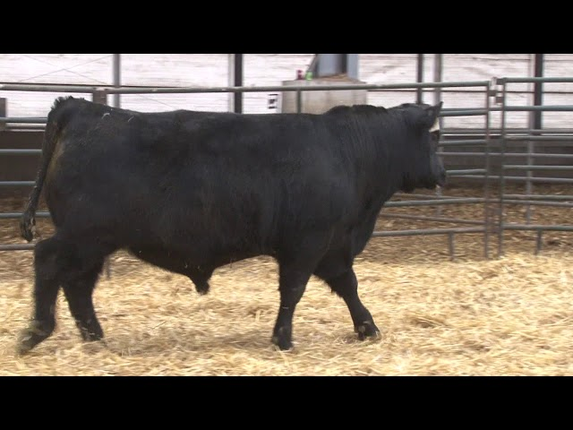 Schiefelbein Angus Farms Lot 296
