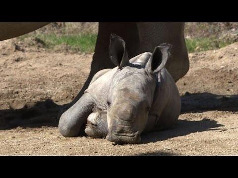 Nace un rinoceronte blanco en zoo de Francia