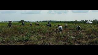초보농장 마늘 수확