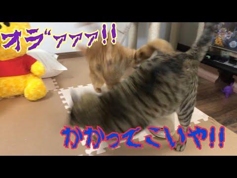 猫達の喧嘩!マタタビに酔ったココに襲いかかる!