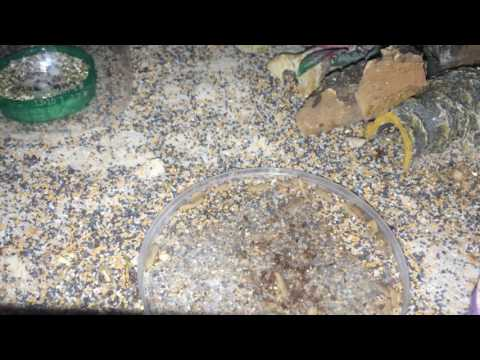 Tropiocolotes eating calci worms.