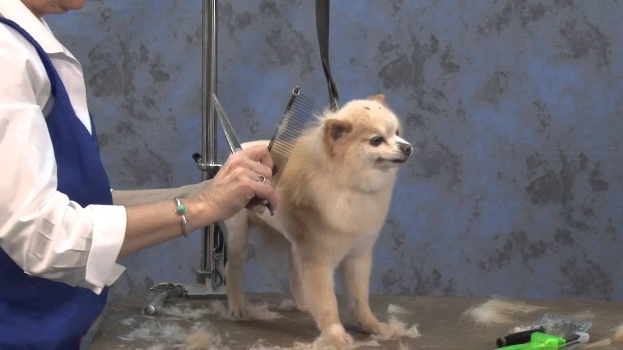 Dog Grooming How To Create A Lion Trim On A Pet Pomeranian Youtube