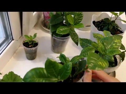Комнатные растения:гипоэстес, гардения.