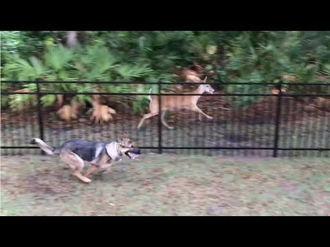 Dog Plays Chase With Fawn