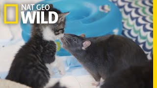 These Cats Have Unlikely Nannies | Nat Geo Wild