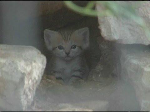 Cute cats: Rare sand kittens born in Tel Aviv