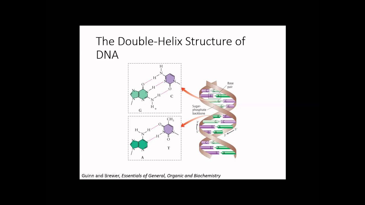 the discovery of the structure of dna Her research helped solve the mystery of the structure of dna - the building blocks of life in 1952, franklin took x-ray photographs of a molecule that showed dna contains two strands wrapped around each other in a double helix, like a twisted ladder the clearest image, known as photograph 51.