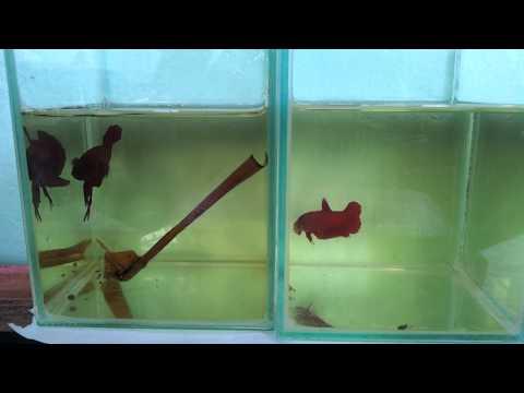 เทียบปลากัดหม้อสีแดง