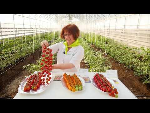 Лучшие сорта и гибриды ЧЕРРИ ТОМАТА для теплицы. | помидоры | томатов | теплицы | гибриды | томаты | томата | лучшие | черри | томат | сорта