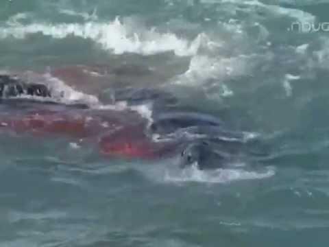 Orcas vs Elefante Marino