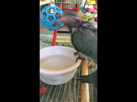 7 week olds Quaker Parrots first bath!