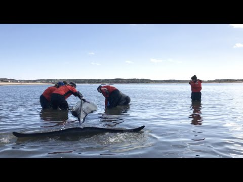 Rare Rescue Of A Stranded Whale
