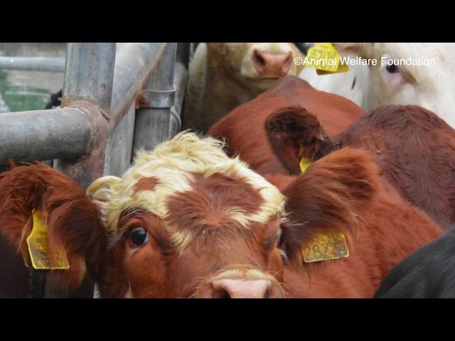 Enquête Exportation d'animaux : l'enfer en mer
