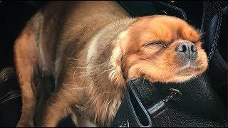 Cute Cavalier King Charles Spaniel Sleeping