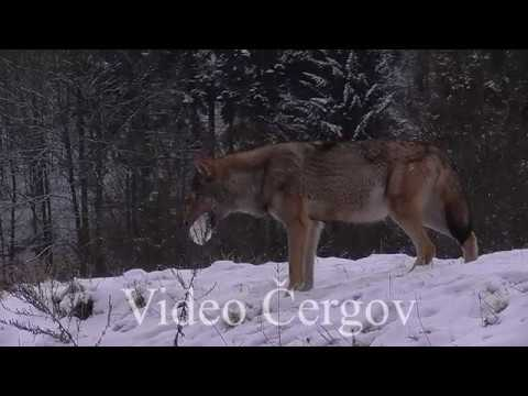 Vlk a nástrahy přírody