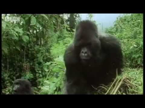 Remembering the first encounter with a silverback gorilla - - Attenborough - BBC wildlife from YouTube · Duration:  1 minutes 56 seconds