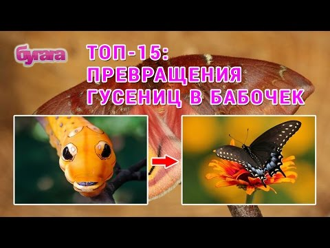 Топ-15: Удивительно красивые превращения гусениц в бабочек