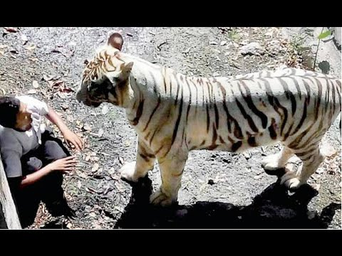 White Tiger ATTACK in Delhi Zoo Full Video Without blur