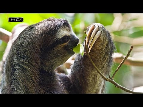 Как двигаются ленивцы видео