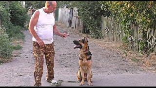 Дрессировка Амура. Кобель Немецкой Овчарки 1 год. Training Amur. Male German Shepherd 1 year.