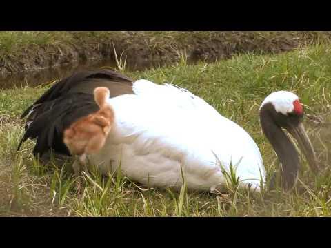 タンチョウ お母さんの背中は温かい Grus japonensis