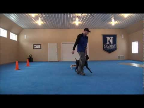Mojo (German Shorthair Pointer) Dog Camp Training Video