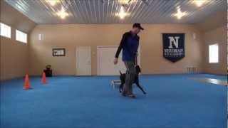 Mojo (german Shorthair Pointer) Dog Camp Training Video