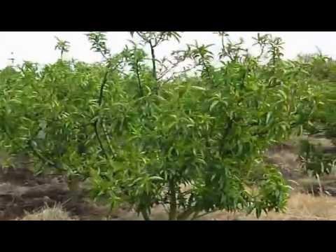 Cultivo de Durazno con Lombricol