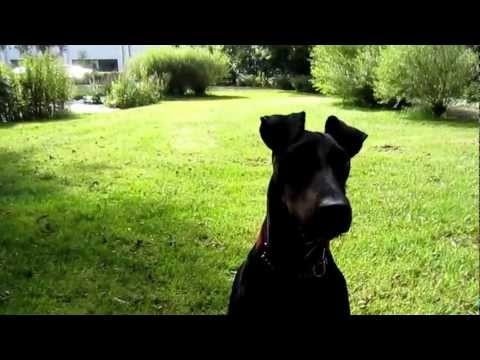Chester the Manchester Terrier playing ball