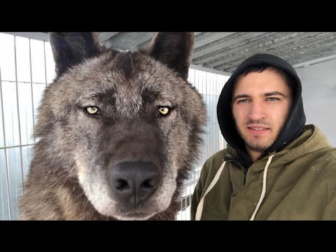 Вопрос: Как завести домашнего волка?