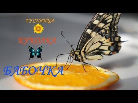Гусеница-Куколка-Бабочка Махаона//Мой опыт разведения//#Мнененравитсяэтовидео