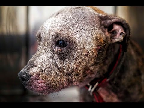 Amazing recovery of pitbull puppy covered in scars abandoned to die in the wilderness