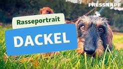 Rasseportrait: Dackel