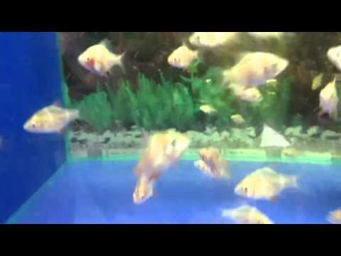 Барбус альбинос - аквариумные рыбки