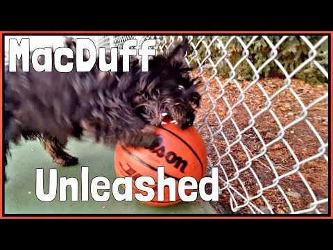 MacDuff The Scottish Terrier Unleashes on his Basketball