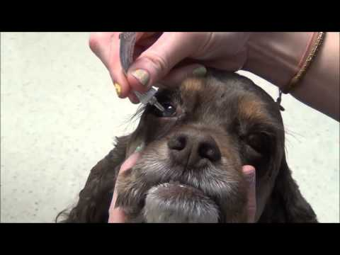 Giving Eye Drops Or Ointment To Your Dog