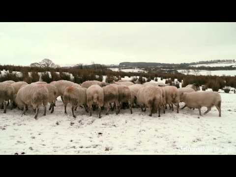How UK sheep farmers are being fleeced by supermarkets
