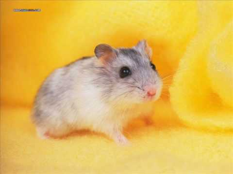 Hamster Dance Song -[Orginal]