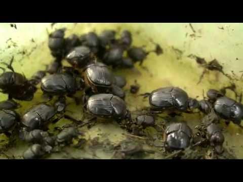 Dung Beetles - Underground army, enriching soils
