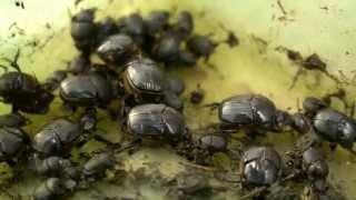 Dung Beetles - Underground army, enriching soils (7min)