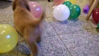 Englisch Cocker Spaniel Welpen / Puppies 9 Wochen