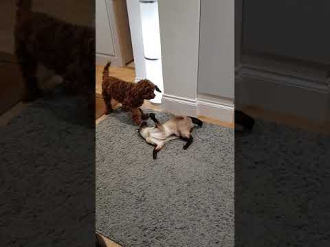 Cavapoo Bear trying to eat siamese cat fight