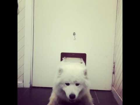 Samoyed squeezes through cat door