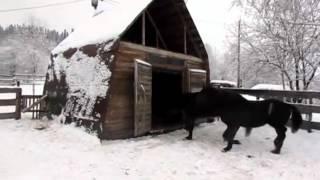 Продажа лошадей 300 000 рублей