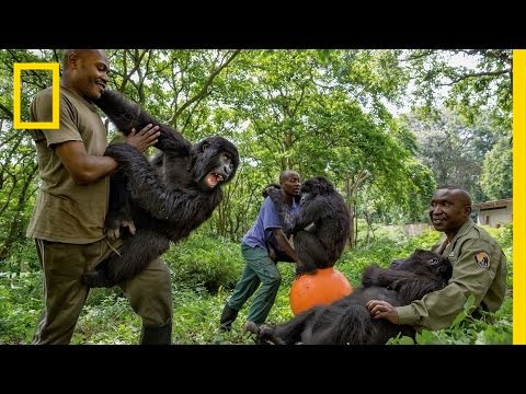 Young Orphaned Gorillas: See Their Adorable Bond With Park Rangers | National Geographic